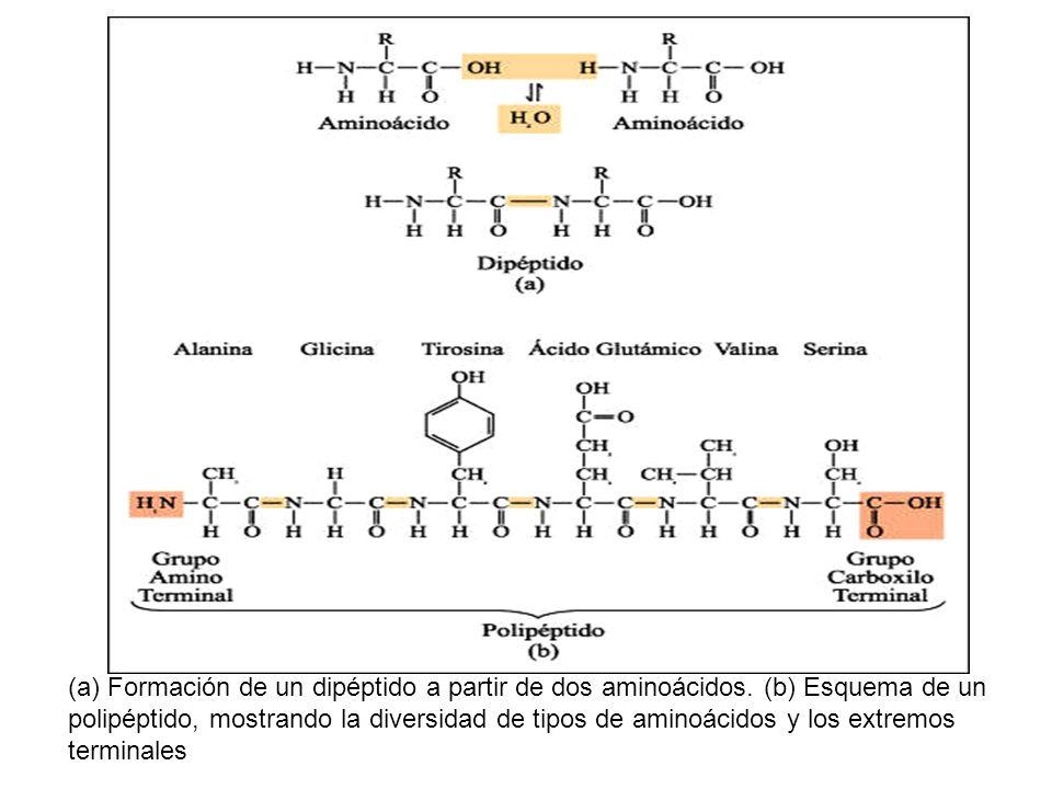(a) Formación de un dipéptido a partir de dos aminoácidos. (b) Esquema de un polipéptido, mostrando la diversidad de tipos de aminoácidos y los extrem
