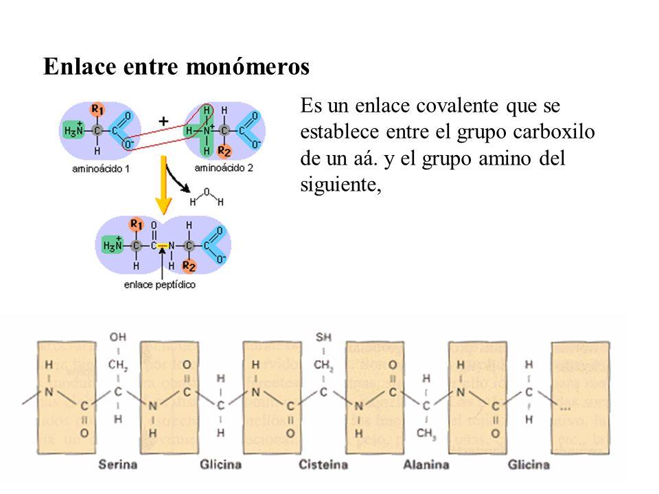 Es un enlace covalente que se establece entre el grupo carboxilo de un aá. y el grupo amino del siguiente, Enlace entre monómeros