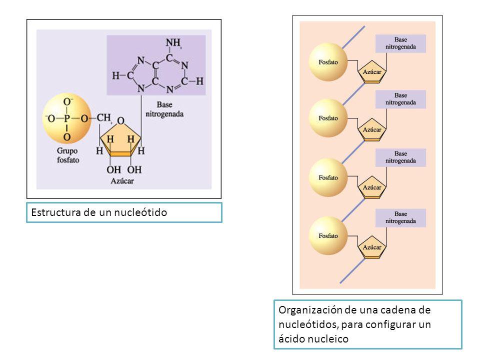 Estructura de un nucleótido Organización de una cadena de nucleótidos, para configurar un ácido nucleico