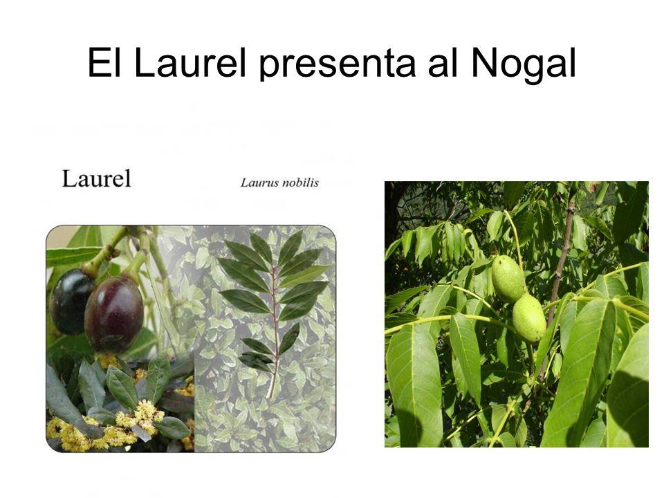 El Laurel presenta al Nogal