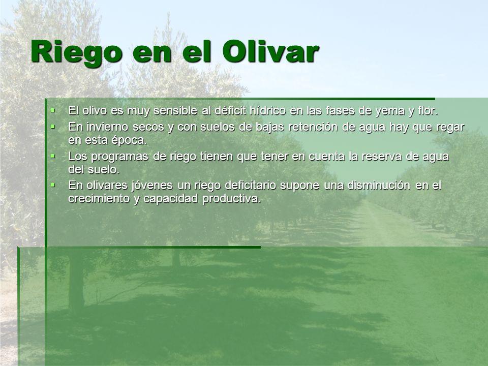 Riego en el Olivar El olivo es muy sensible al déficit hídrico en las fases de yema y flor. El olivo es muy sensible al déficit hídrico en las fases d