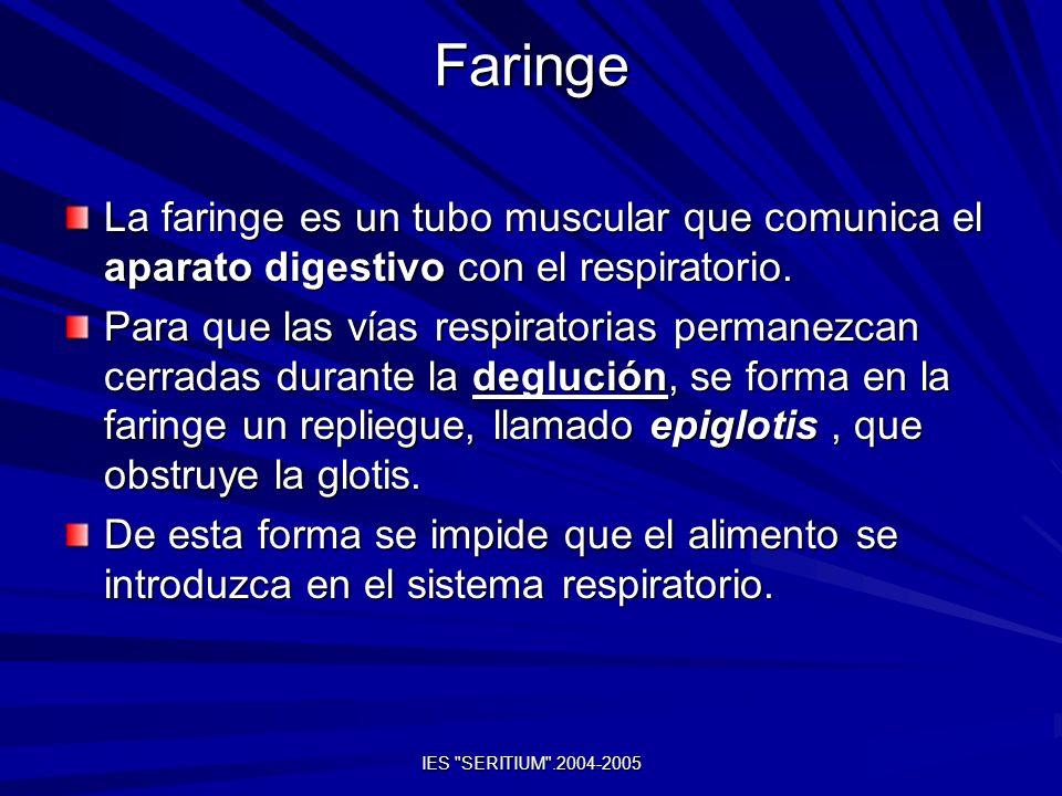 IES SERITIUM .2004-2005 Esófago Es un conducto recto y musculoso.