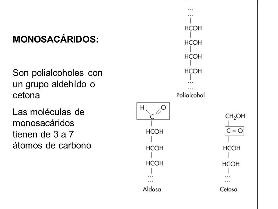 MONOSACÁRIDOS: Son polialcoholes con un grupo aldehído o cetona Las moléculas de monosacáridos tienen de 3 a 7 átomos de carbono