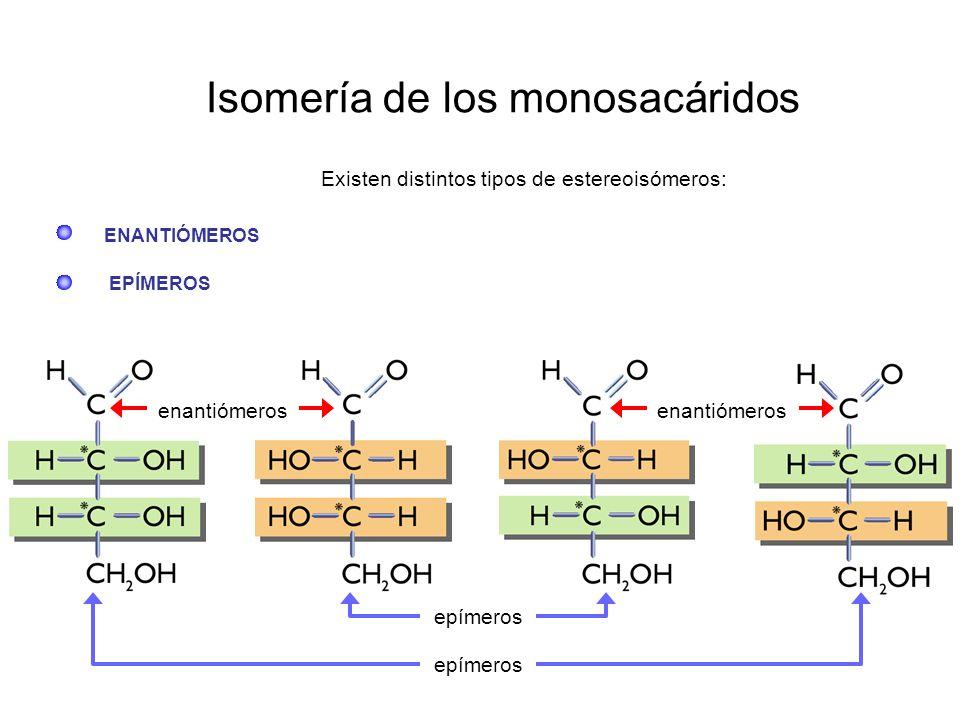 Isomería de los monosacáridos Existen distintos tipos de estereoisómeros: ENANTIÓMEROS EPÍMEROS epímeros enantiómeros