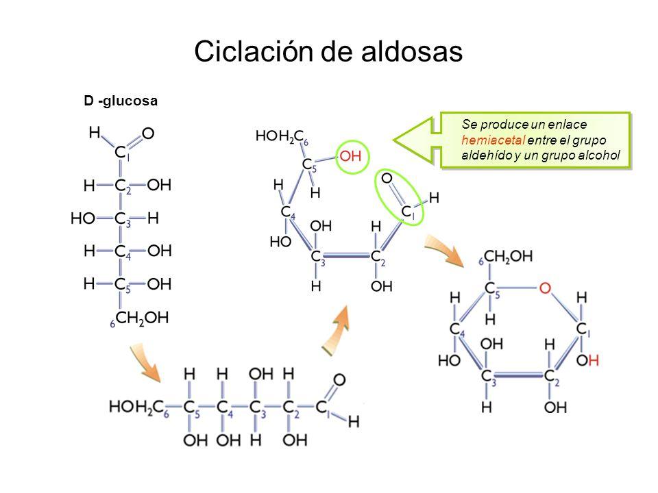 Ciclación de aldosas D -glucosa Se produce un enlace hemiacetal entre el grupo aldehído y un grupo alcohol