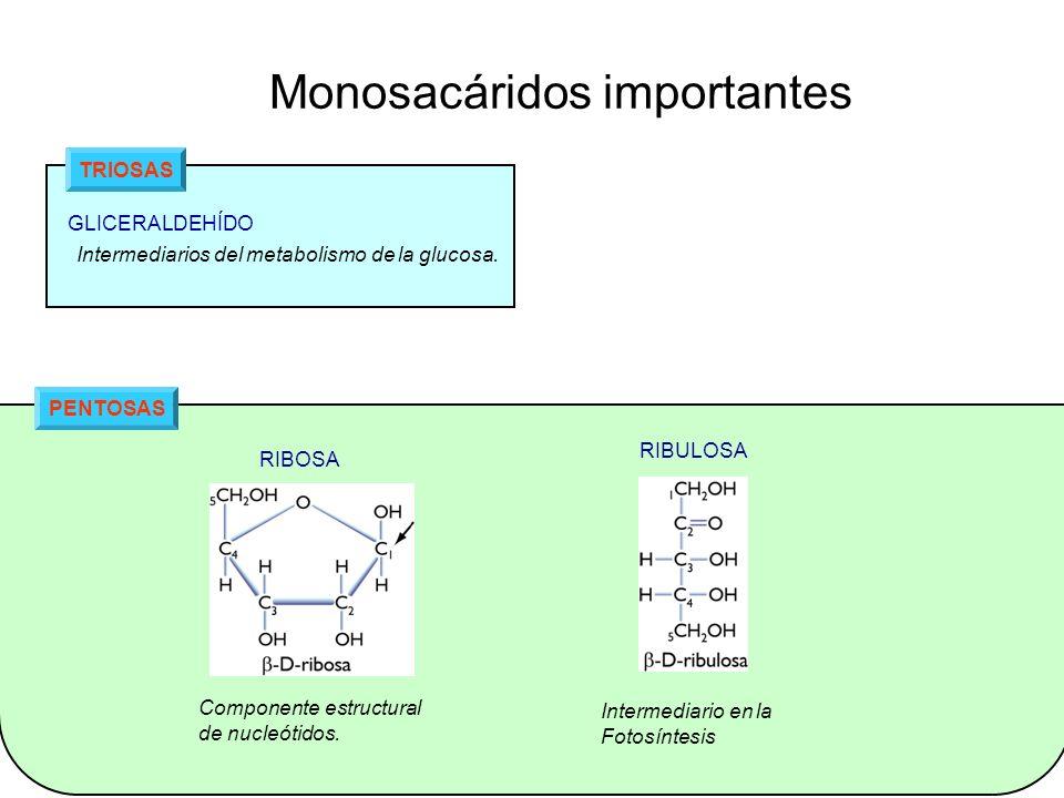 PENTOSAS Monosacáridos importantes TRIOSAS GLICERALDEHÍDO Intermediarios del metabolismo de la glucosa. Componente estructural de nucleótidos. RIBOSA