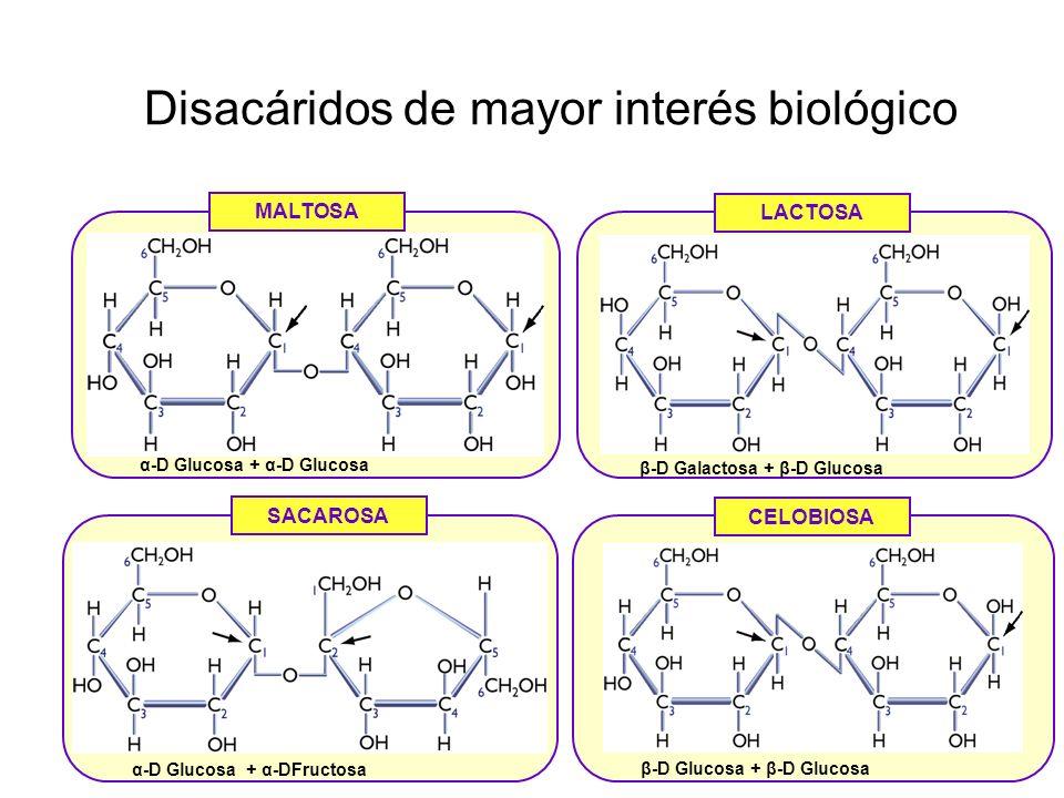 Disacáridos de mayor interés biológico MALTOSA LACTOSA SACAROSA CELOBIOSA α-D Glucosa + α-D Glucosa β-D Galactosa + β-D Glucosa α-D Glucosa + α-DFructosa β-D Glucosa + β-D Glucosa