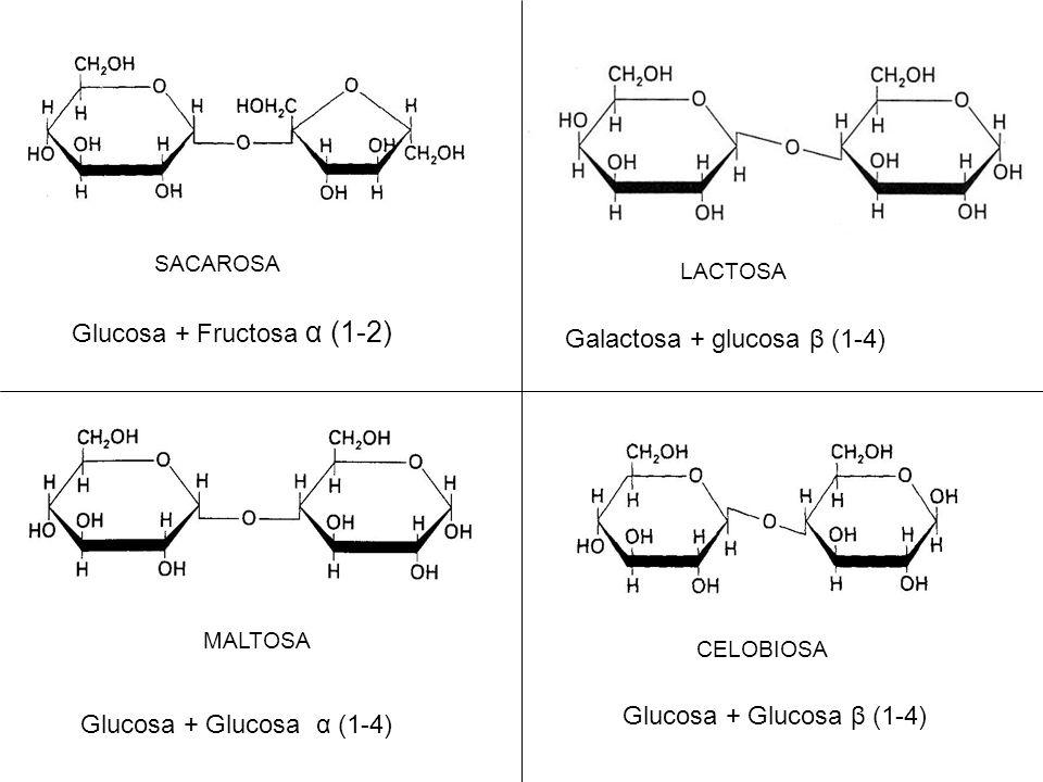 Glucosa + Fructosa α (1-2) SACAROSA LACTOSA Galactosa + glucosa β (1-4) MALTOSA Glucosa + Glucosa α (1-4) CELOBIOSA Glucosa + Glucosa β (1-4)