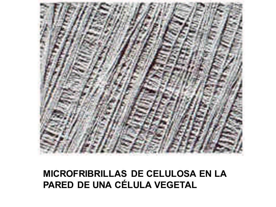 MICROFRIBRILLAS DE CELULOSA EN LA PARED DE UNA CÉLULA VEGETAL