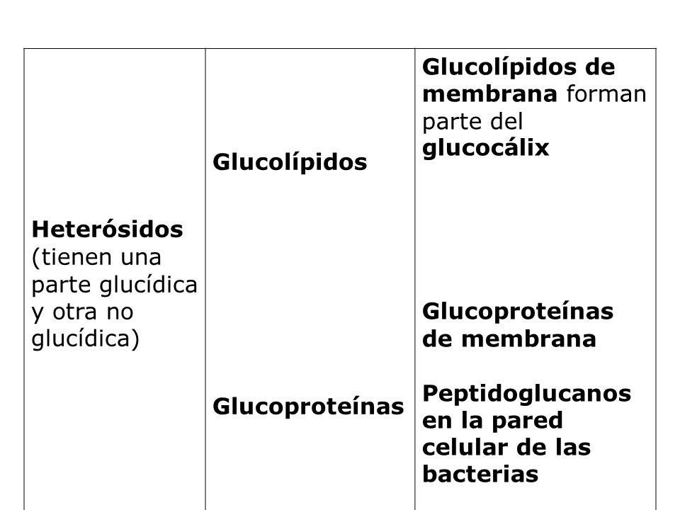 Heterósidos (tienen una parte glucídica y otra no glucídica) Glucolípidos Glucoproteínas Glucolípidos de membrana forman parte del glucocálix Glucopro