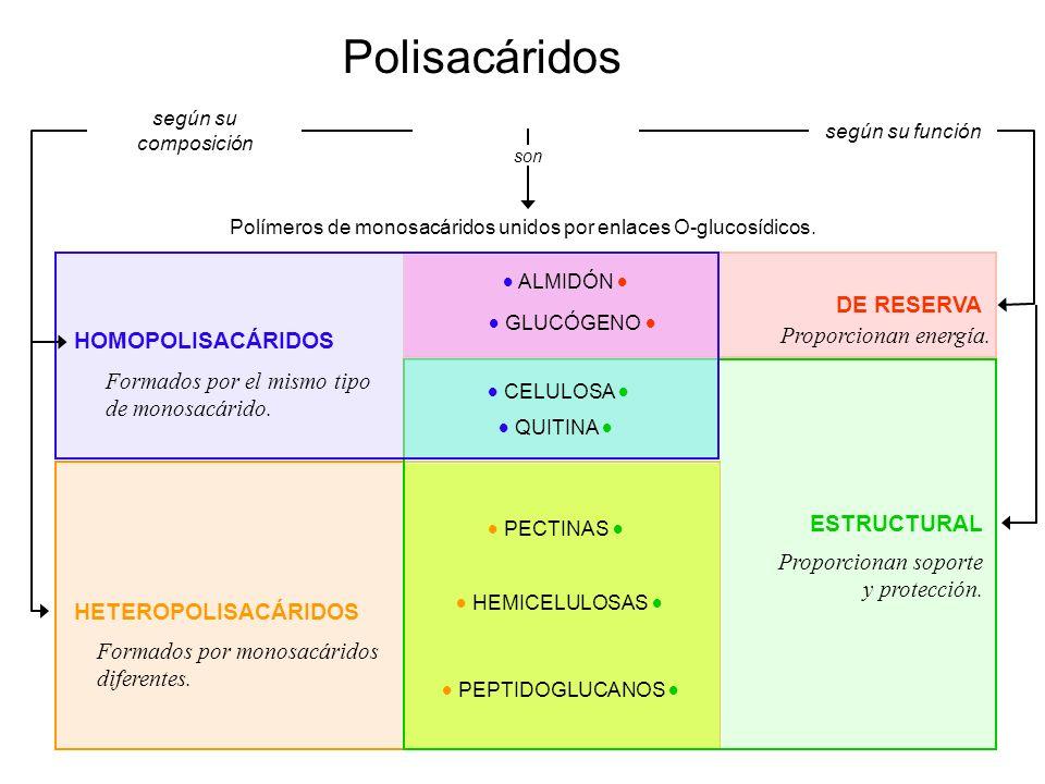 Polisacáridos Polímeros de monosacáridos unidos por enlaces O-glucosídicos. son HOMOPOLISACÁRIDOS HETEROPOLISACÁRIDOS ESTRUCTURAL DE RESERVA según su
