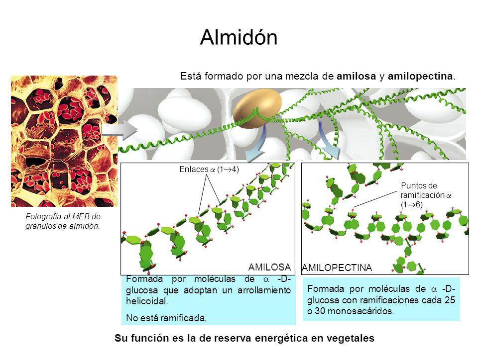 Formada por moléculas de -D- glucosa con ramificaciones cada 25 o 30 monosacáridos. Formada por moléculas de -D- glucosa que adoptan un arrollamiento