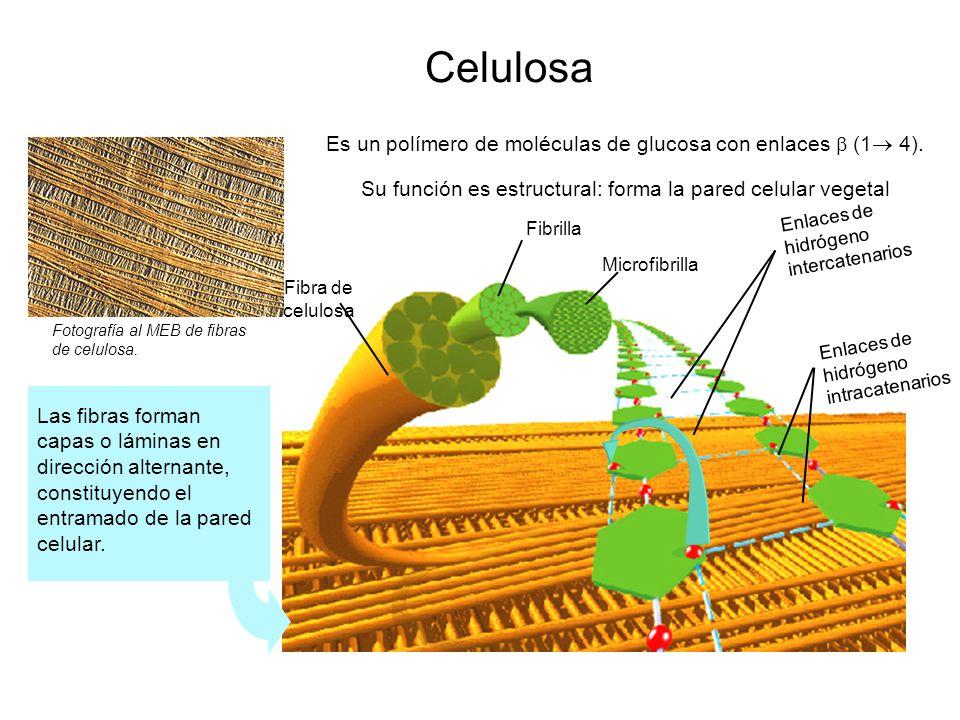 Celulosa Fotografía al MEB de fibras de celulosa. Es un polímero de moléculas de glucosa con enlaces (1 4). Fibra de celulosa Fibrilla Microfibrilla E