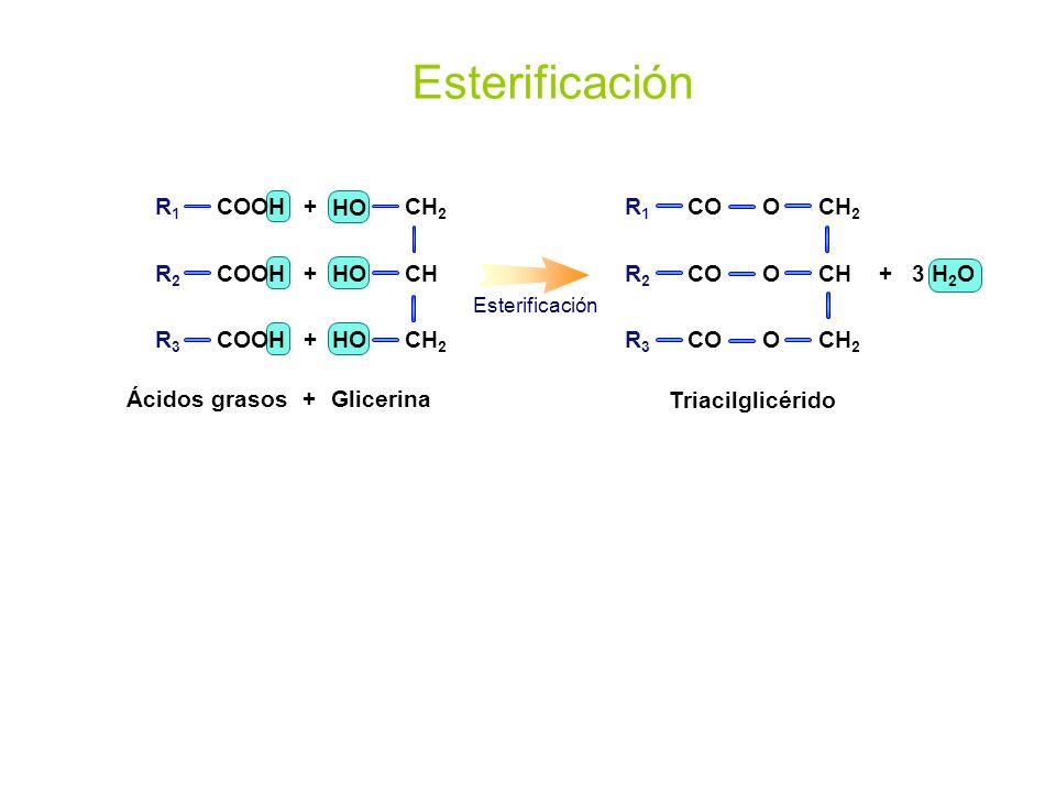 GlicerinaÁcidos grasos + + + + Esterificación R1R1 COOH R2R2 R3R3 CH 2 CH CH 2 HO Triacilglicérido + 3 H 2 O CH 2 CH CH 2 O O O R1R1 R2R2 R3R3 CO Este