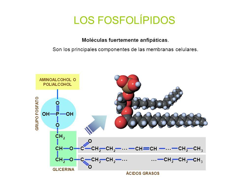 ÁCIDOS GRASOS GRUPO FOSFATO GLICERINA CHO O C 2 2 O O C O O POH CH 2 2 2 2 2 2 2 3... CH 3 LOS FOSFOLÍPIDOS Moléculas fuertemente anfipáticas. Son los
