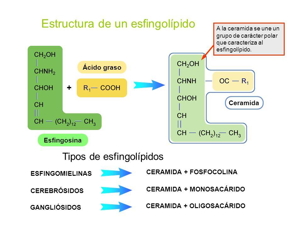 Estructura de un esfingolípido EsfingosinaCeramidaÁcido graso + A la ceramida se une un grupo de carácter polar que caracteriza al esfingolípido. ESFI