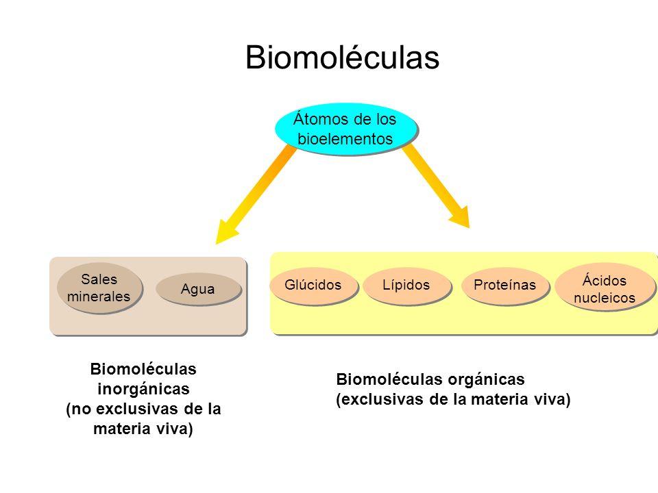 Biomoléculas inorgánicas (no exclusivas de la materia viva) Átomos de los bioelementos Ácidos nucleicos ProteínasLípidosGlúcidos Agua Sales minerales