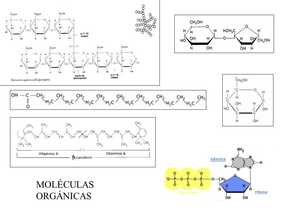 Carbono Hidrógeno Oxígeno Nitrógeno Constituyentes básicos de las biomoléculas Fósforo Fosfolípidos (membranas celulares) Nucleótidos (ácidos nucleicos, ATP) Fosfatos (esqueletos de los animales) Azufre Proteínas (en los aminoácidos cisteína y metionina).