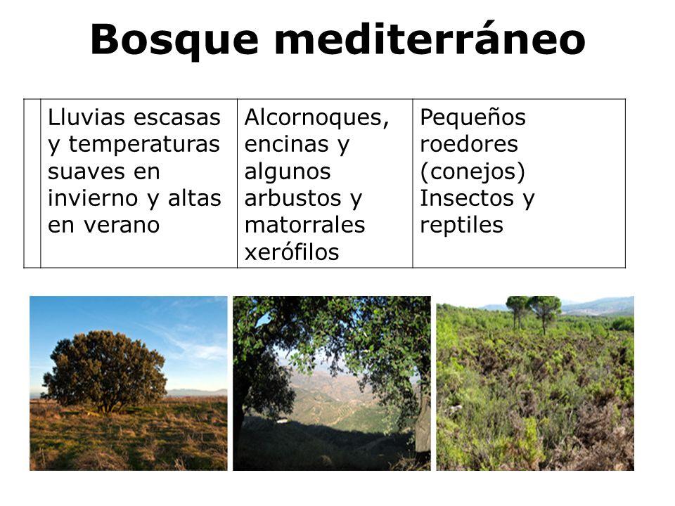 Bosque mediterráneo Lluvias escasas y temperaturas suaves en invierno y altas en verano Alcornoques, encinas y algunos arbustos y matorrales xerófilos