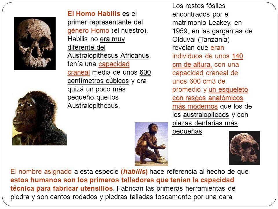 es el primer representante del género Homo era muy diferente del Australopithecus Africanus capacidad craneal600 centímetros cúbicos El Homo Habilis e