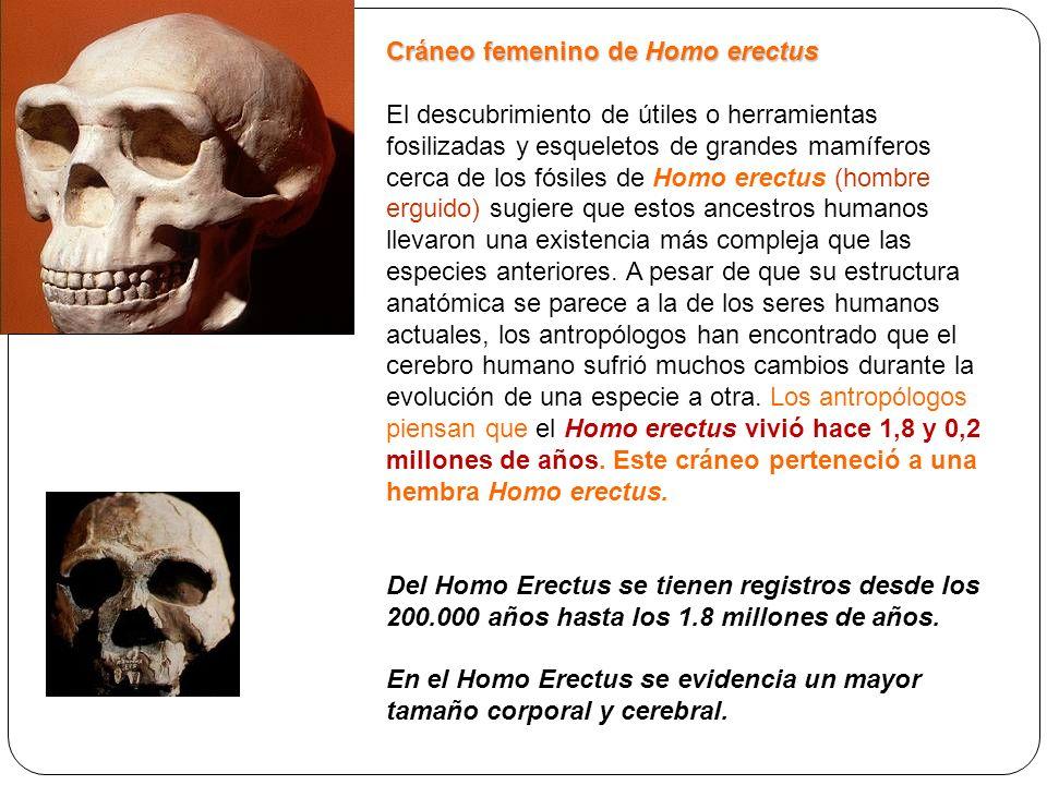 Cráneo femenino de Homo erectus El descubrimiento de útiles o herramientas fosilizadas y esqueletos de grandes mamíferos cerca de los fósiles de Homo