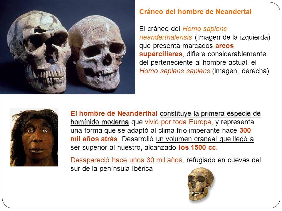 Cráneo del hombre de Neandertal El cráneo del Homo sapiens neanderthalensis (Imagen de la izquierda) que presenta marcados arcos superciliares, difier