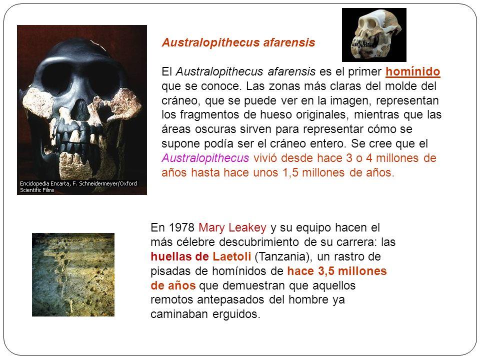 Australopithecus afarensis El Australopithecus afarensis es el primer homínido que se conoce. Las zonas más claras del molde del cráneo, que se puede