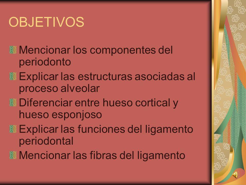 OBJETIVOS Mencionar los componentes del periodonto Explicar las estructuras asociadas al proceso alveolar Diferenciar entre hueso cortical y hueso esponjoso Explicar las funciones del ligamento periodontal Mencionar las fibras del ligamento