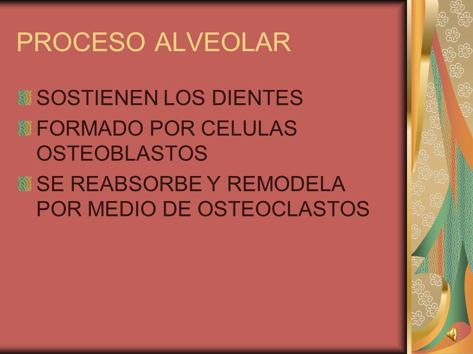 PROCESO ALVEOLAR SOSTIENEN LOS DIENTES FORMADO POR CELULAS OSTEOBLASTOS SE REABSORBE Y REMODELA POR MEDIO DE OSTEOCLASTOS