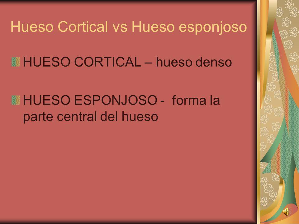 Hueso Cortical vs Hueso esponjoso HUESO CORTICAL – hueso denso HUESO ESPONJOSO - forma la parte central del hueso