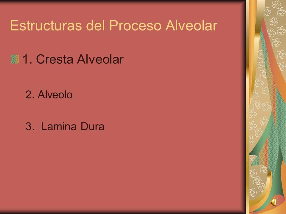 Estructuras del Proceso Alveolar 1. Cresta Alveolar 2. Alveolo 3. Lamina Dura