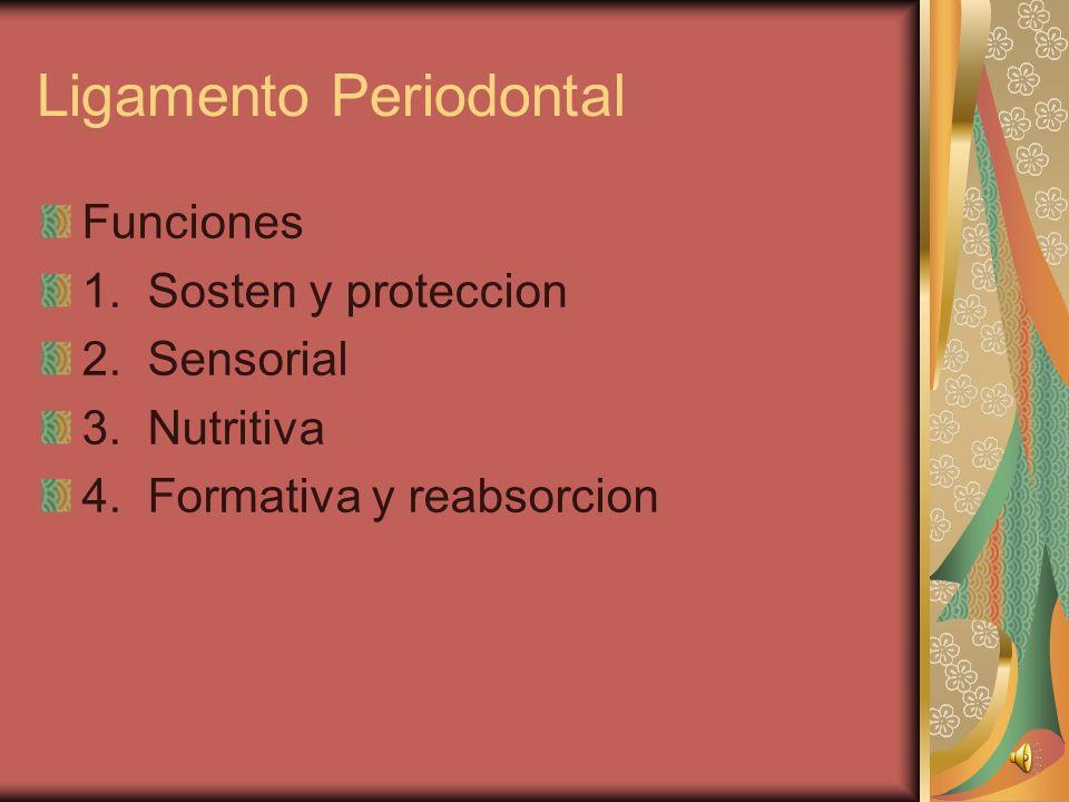 Ligamento Periodontal Funciones 1.Sosten y proteccion 2.