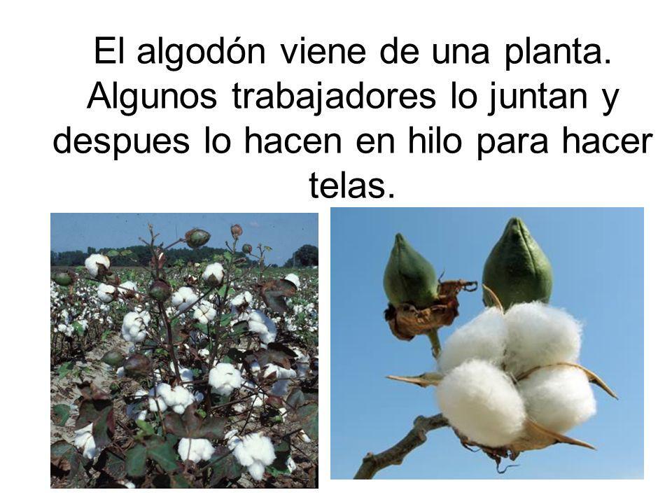 El algodón viene de una planta. Algunos trabajadores lo juntan y despues lo hacen en hilo para hacer telas.