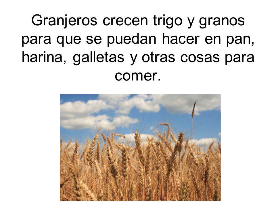 Granjeros crecen trigo y granos para que se puedan hacer en pan, harina, galletas y otras cosas para comer.