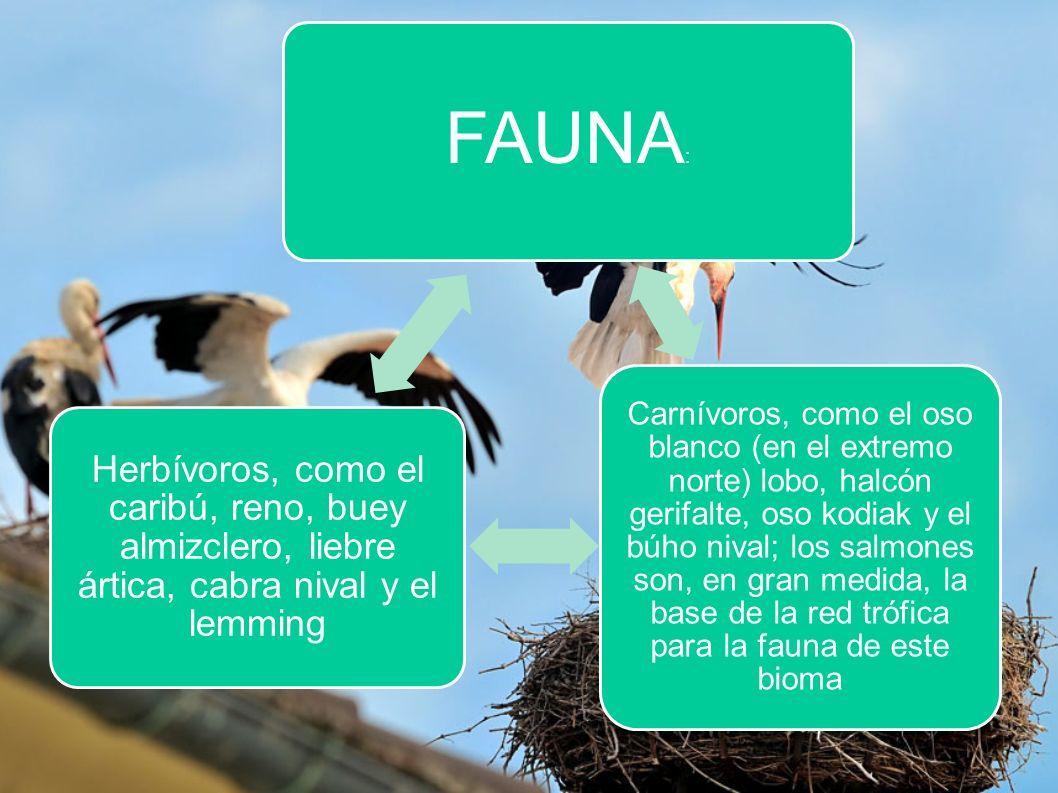 FAUNA : Carnívoros, como el oso blanco (en el extremo norte) lobo, halcón gerifalte, oso kodiak y el búho nival; los salmones son, en gran medida, la