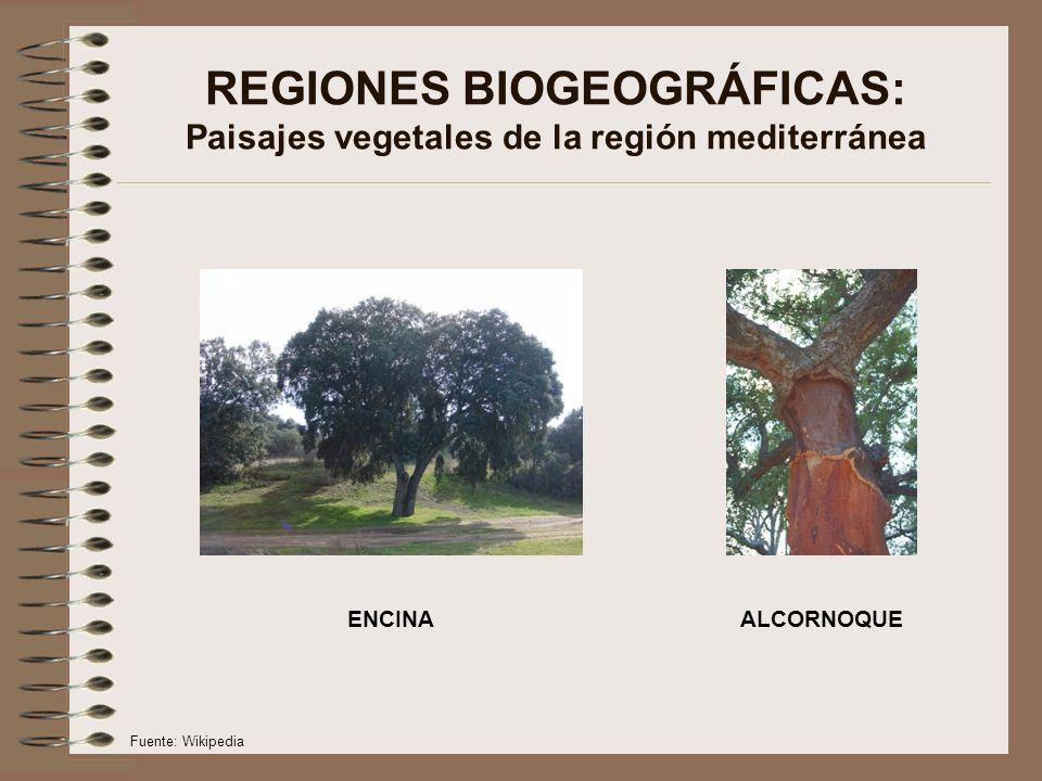REGIONES BIOGEOGRÁFICAS: Paisajes vegetales de la región mediterránea ENCINAALCORNOQUE Fuente: Wikipedia