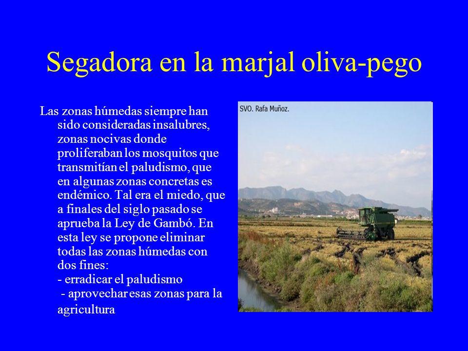 Segadora en la marjal oliva-pego Las zonas húmedas siempre han sido consideradas insalubres, zonas nocivas donde proliferaban los mosquitos que transm