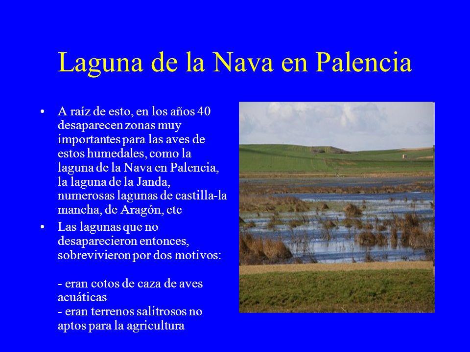Laguna de la Nava en Palencia A raíz de esto, en los años 40 desaparecen zonas muy importantes para las aves de estos humedales, como la laguna de la