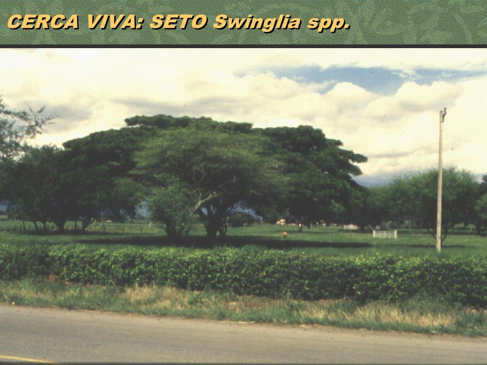 22 CERCA VIVA: SETO Swinglia spp.