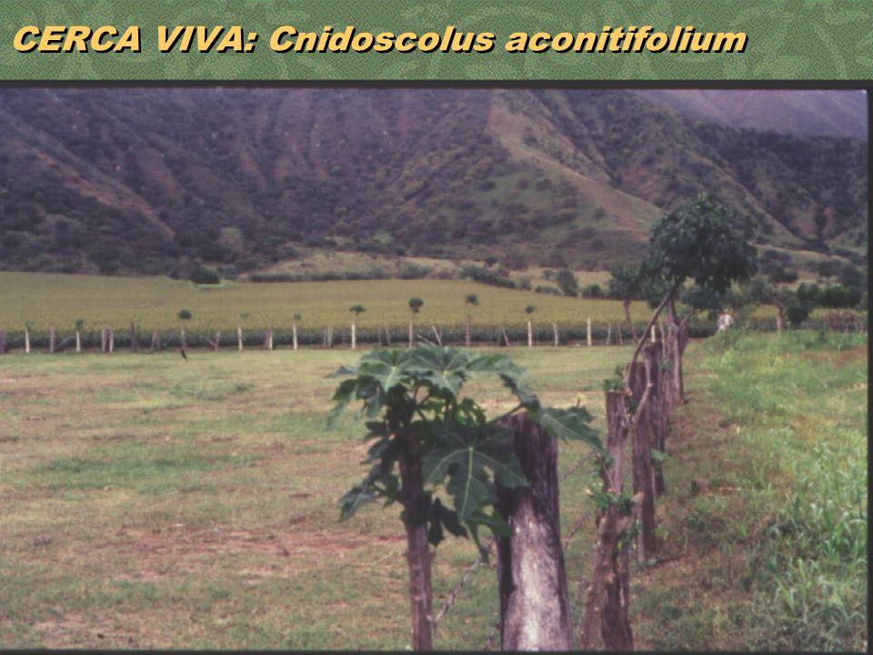 23 CERCA VIVA: Cnidoscolus aconitifolium
