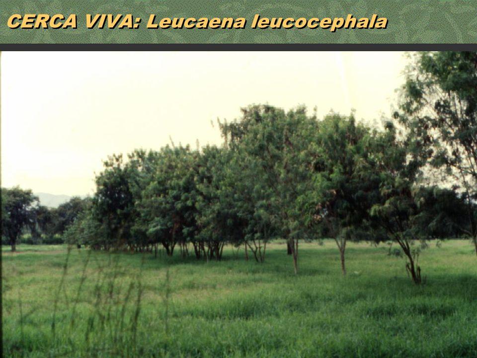 24 CERCA VIVA: Leucaena leucocephala
