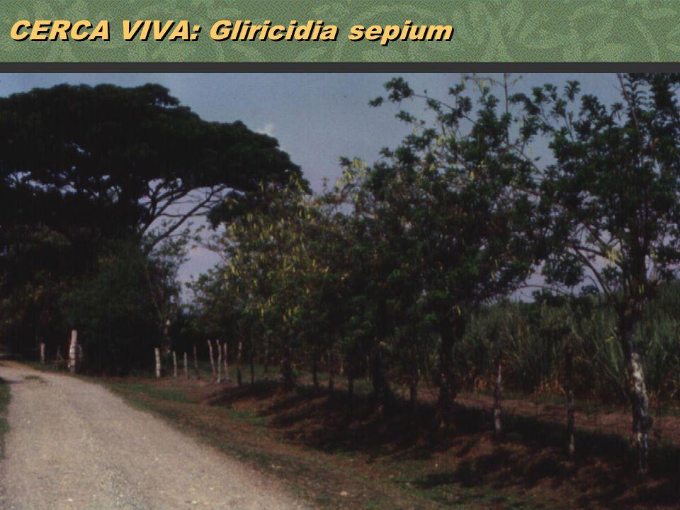 25 CERCA VIVA: Gliricidia sepium