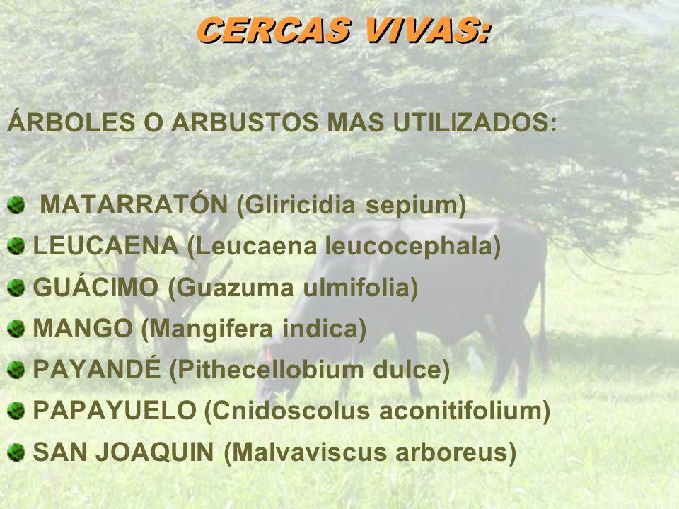 CERCAS VIVAS: ÁRBOLES O ARBUSTOS MAS UTILIZADOS: MATARRATÓN (Gliricidia sepium) LEUCAENA (Leucaena leucocephala) GUÁCIMO (Guazuma ulmifolia) MANGO (Ma