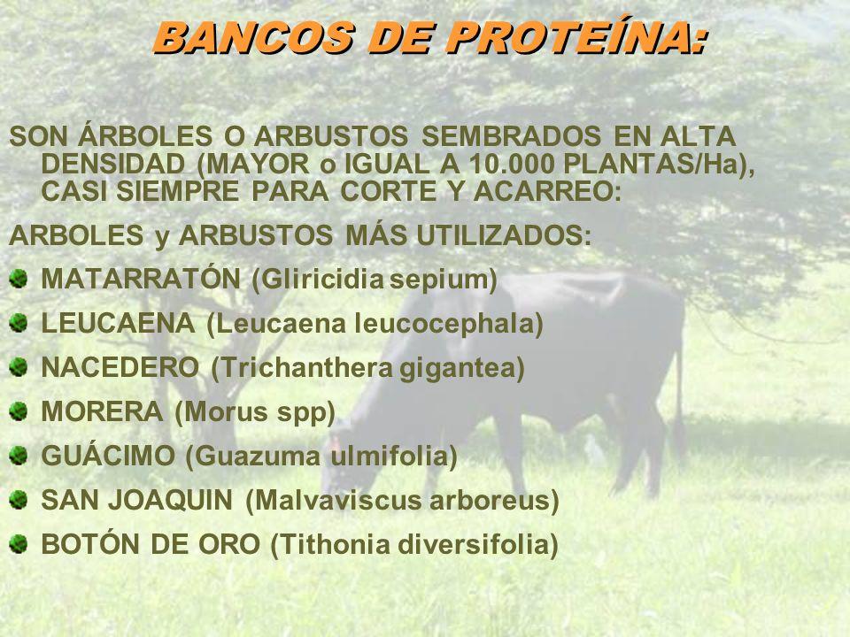BANCOS DE PROTEÍNA: SON ÁRBOLES O ARBUSTOS SEMBRADOS EN ALTA DENSIDAD (MAYOR o IGUAL A 10.000 PLANTAS/Ha), CASI SIEMPRE PARA CORTE Y ACARREO: ARBOLES
