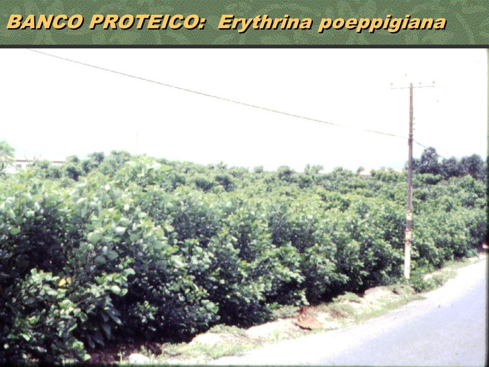 29 BANCO PROTEICO: Erythrina poeppigiana