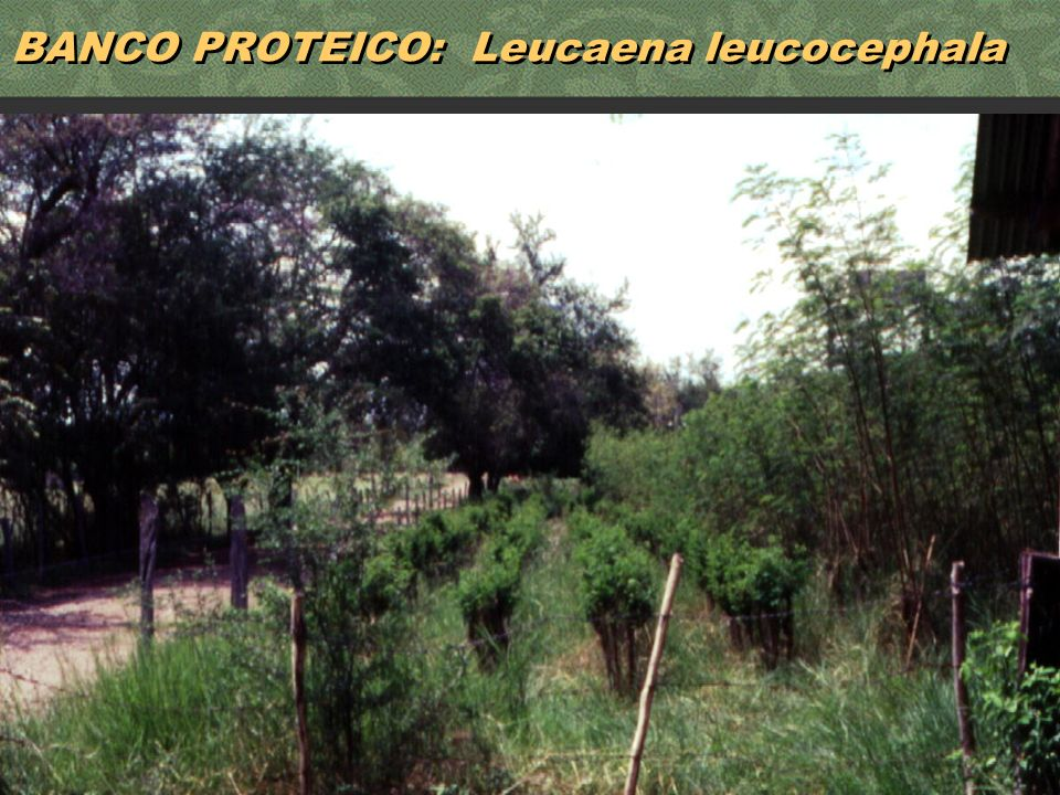 30 BANCO PROTEICO: Leucaena leucocephala