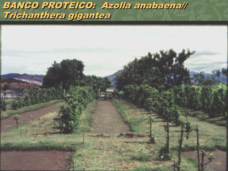 31 BANCO PROTEICO: Azolla anabaena// Trichanthera gigantea