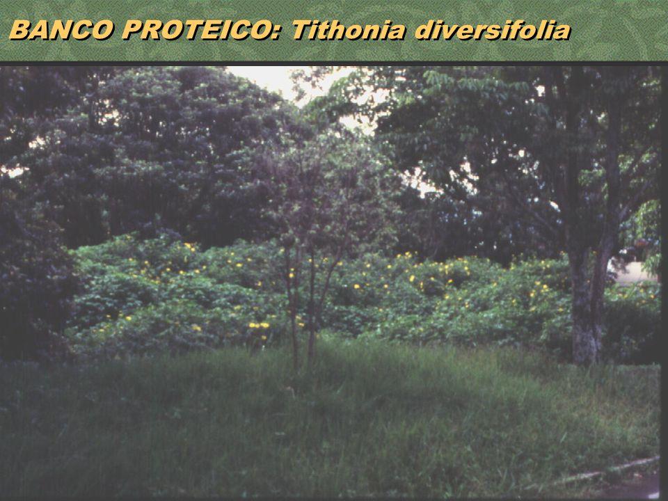 32 BANCO PROTEICO: Tithonia diversifolia