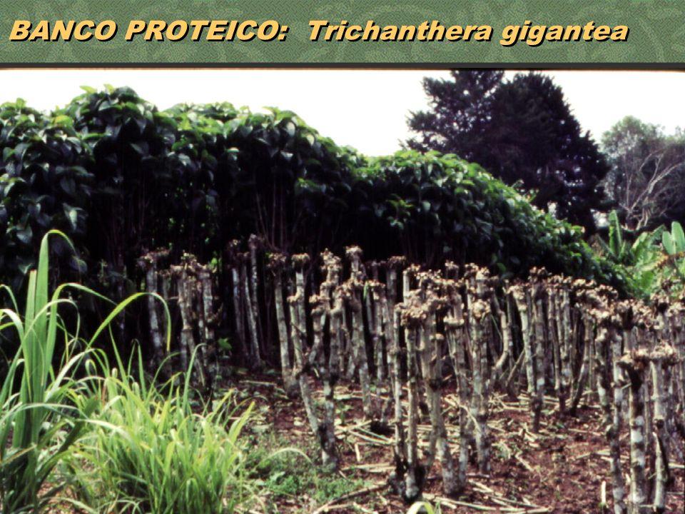 33 BANCO PROTEICO: Trichanthera gigantea