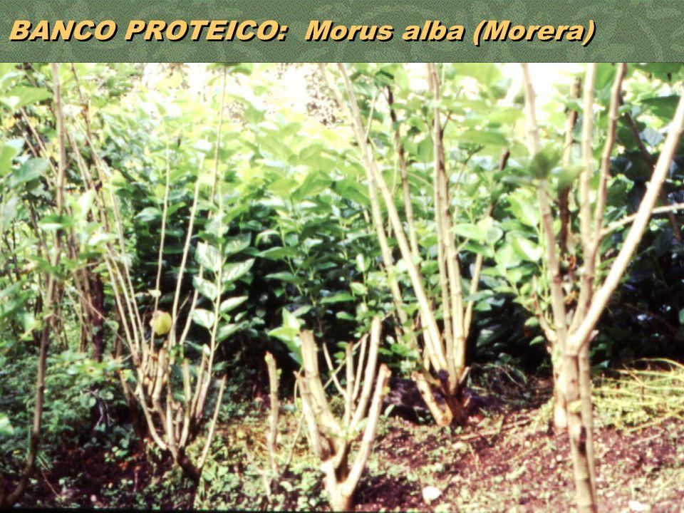 34 BANCO PROTEICO: Morus alba (Morera)